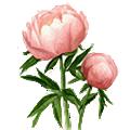 Deze maand bloeit: Pioenroos