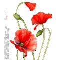 Deze maand bloeit: Papaver